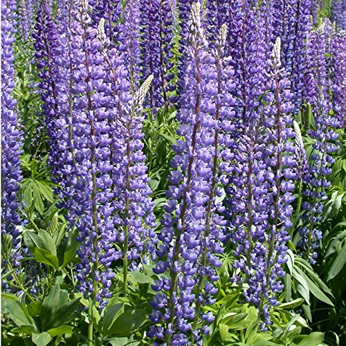 20x Sweet Blue Lupine Seeds