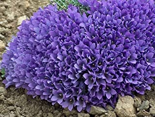 100 Seeds Edraianthus, Grassy Bells Seeds -Perfect for Rock Gardens or Patio Containers.