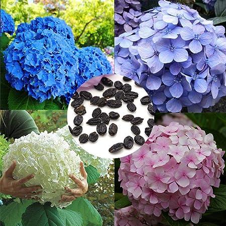 Hortensie 50 samen Mehrjährige Blumen Samen Zweijährige Samen Hausgarten DI V3K6