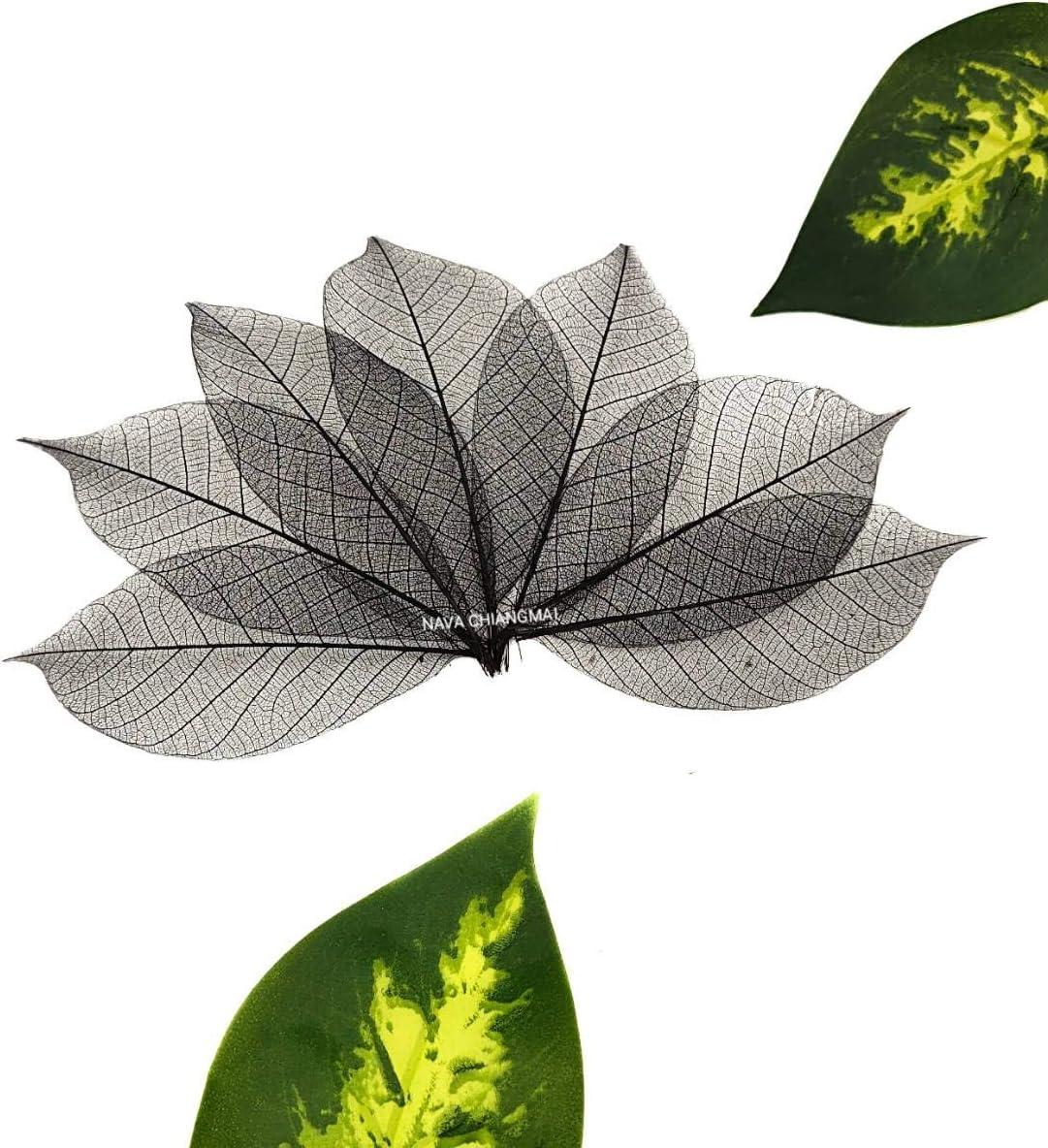 70% OFF Outlet NAVA CHIANGMAI Branded goods Rubber Tree Leaves Pack 100 of Skeleton -