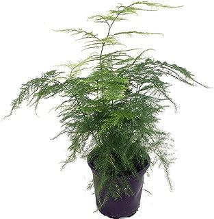 setaceus asparagus fern