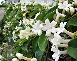 100+ Jasmine Jasminum Seeds Shrubs Vines Plants Rare Beautiful Vine Home Garden