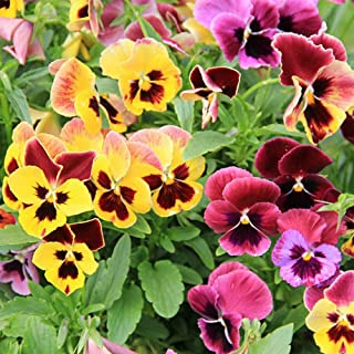 Pansy Flower Seeds 30+ Viola Johnny Jump Up Viola Tricolor Mixed Colors Plant for Home Garden Outdoor Yard Farm Planting