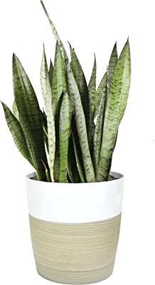 Costa Farms Premium Live Indoor Snake Sansevieria Floor Plant Shipped in Décor Planter, 2-Feet Tall, Grower's Choice, Green, Yellow