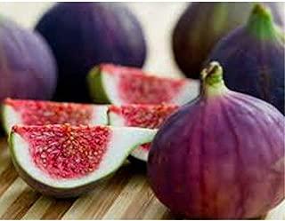 Fig Ficus Carica Live Plant Violette du Bordeaux Negronne Petite Figue de Violet