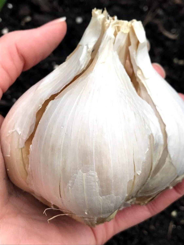 激安格安割引情報満載 Garlic Organically Grown Many Varieties: Spanish ROJA Music メイルオーダー