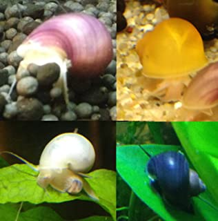 Fishzombie Aquatics 4 Young Mystery Snails (Assorted Colors) + 1 Free