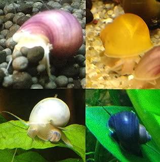 mystery snail colors