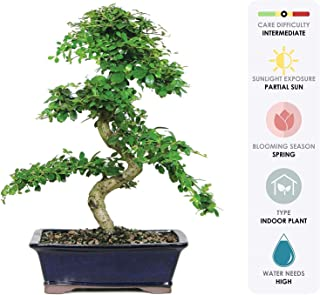 Best bonsai apple tree Reviews
