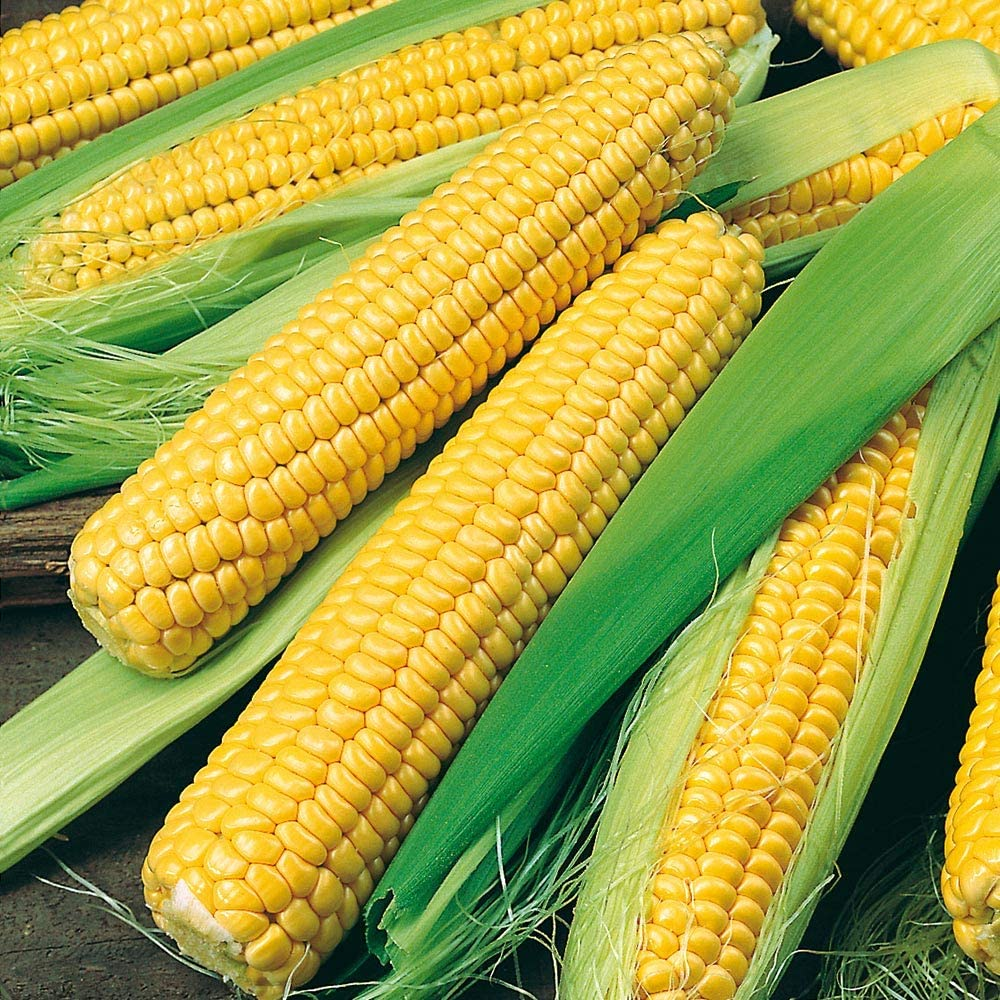 PAPCOOL GoldenBantạm Sweet Max 55% OFF Corn for SẸẸDS PlẠLarge-scale sale