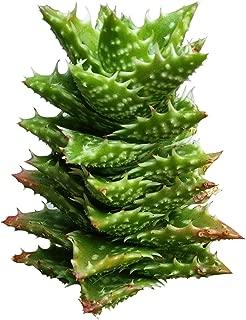 Aloe Juvenna Tiger Tooth Aloe Succulent (4'' + Clay Pot)