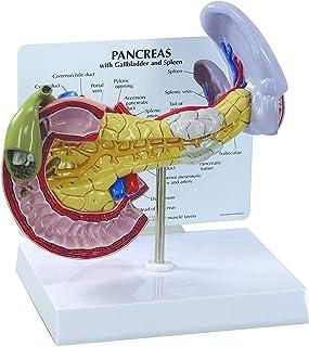 脾臓病理学モデル、膵臓、胆管および十二指腸、膵臓、脾臓および胆嚢の正常な解剖学