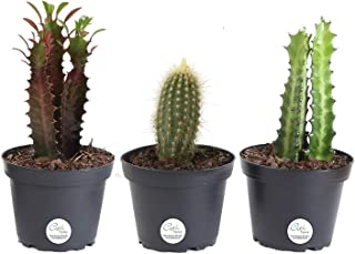 Costa Farms Euphorbia Cactus, Live Indoor Plants, Cactus Décor, 7 to 10-Inches Tall, Ships in Grower Pot, 3-Pack Assortment, Fresh From Our Farm