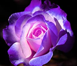 Seeds - Violet and Purple Midnight Rose Bush Seeds - Rare, Exotic & Beautiful USA Seller - TricaStore