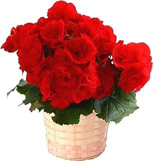 花のギフト社 リーガースの花 リーガースベゴニア ベコニアの花 リーガース ベコニア 鉢植え 鉢花