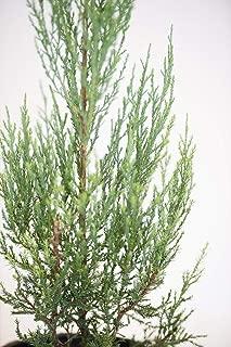 Juniper Burkii - 20 Live Trees - Juniperus Virginiana - Evergreen Screening Red Cedar