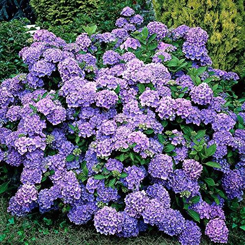Hydrangea macrophylla'Renate Steiniger'...