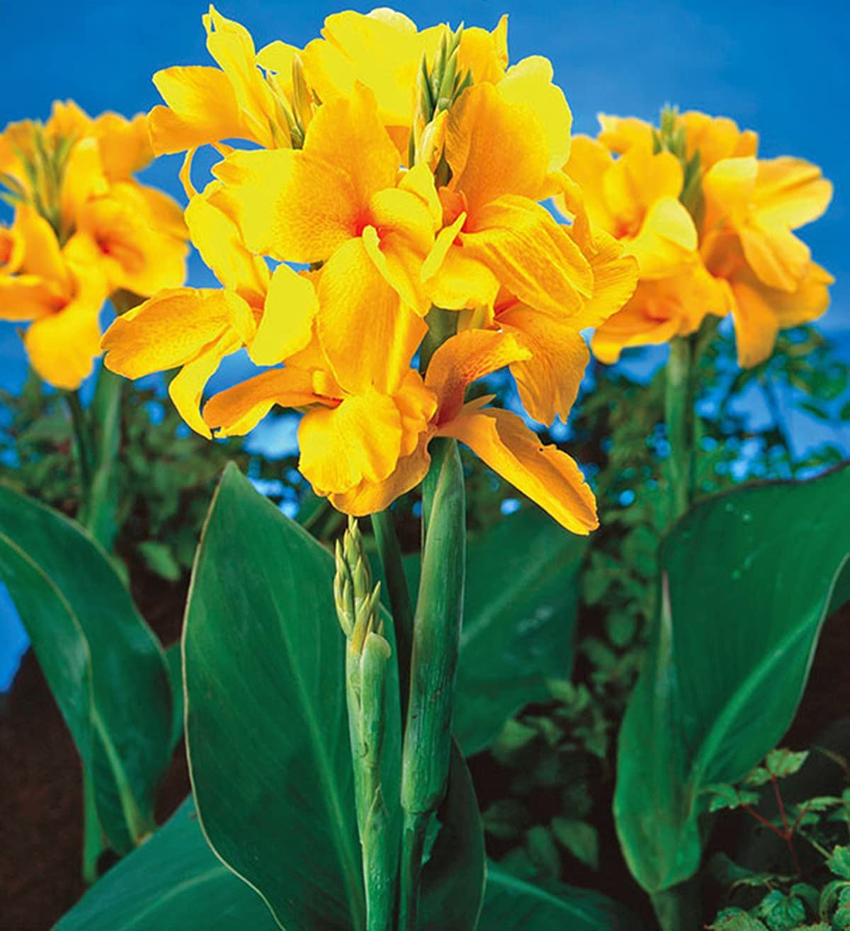 Canna Bulbs Planted in Spring Easy of Garden free shipping take Care to Flower Popular popular