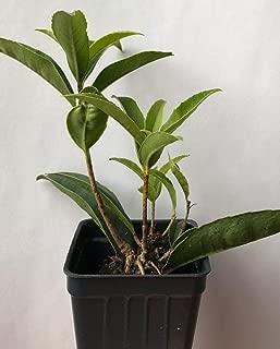 Tea Olive ~ 'Fudingzhu' (Osmanthus fragrans) ~ Fragrant ~ Live Plant