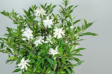 Perfect Plants Frostproof Gardenia Live Plant, 1 Gallon