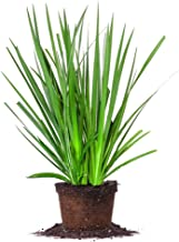 White African IRIS - Size: 1 Gallon, Live Plant, Includes Special Blend Fertilizer & Planting Guide