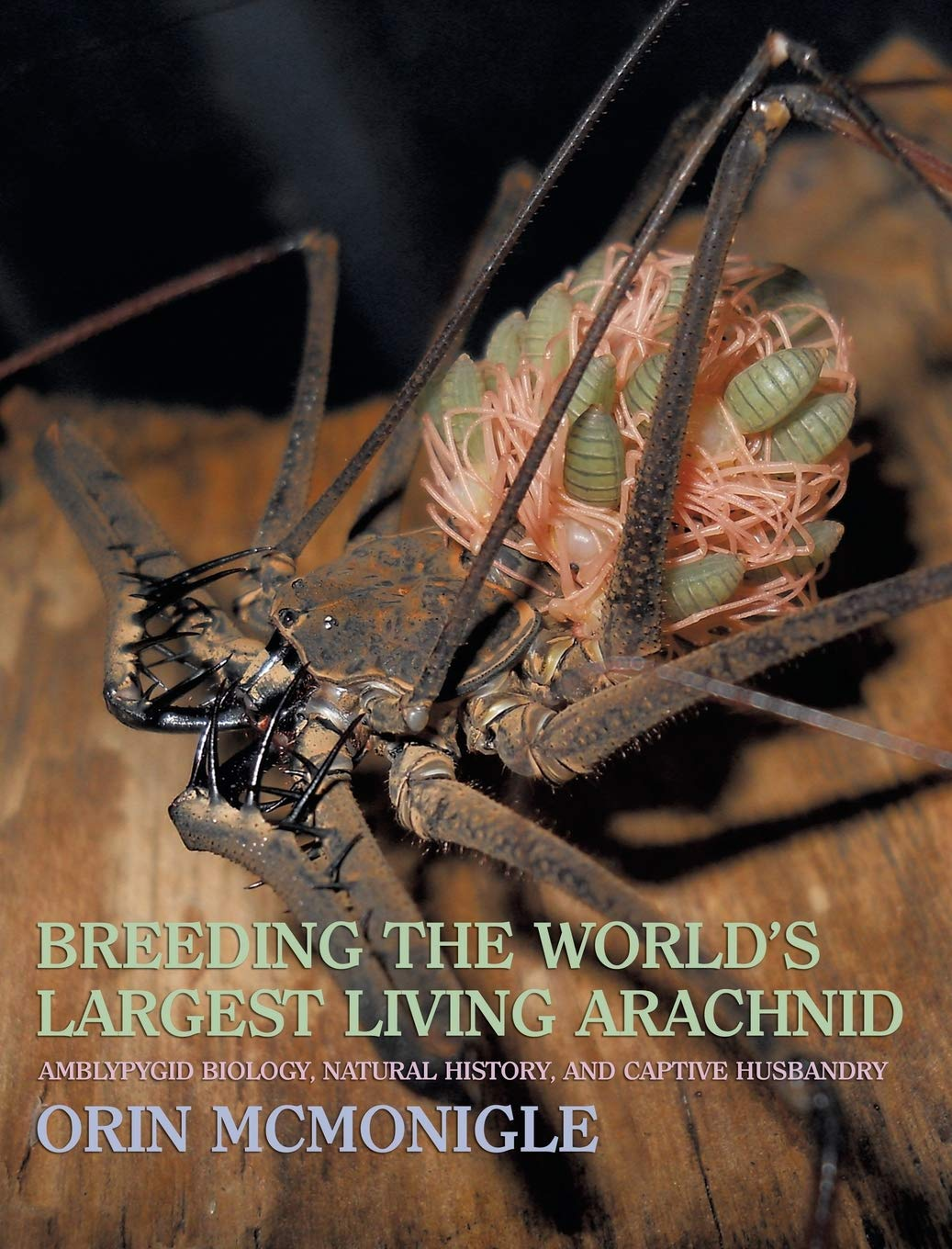Image OfBreeding The World's Largest Living Arachnid: Amblypygid (Whipspider) Biology, Natural History, And Captive Husbandry