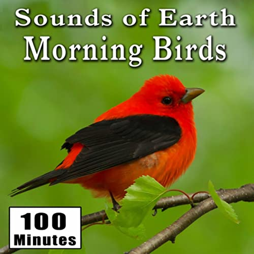 Early Morning Wild Birds Chirping and Activity (Songbirds