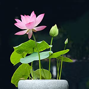 Lotus Flower Seeds for Home Planting Ornamental, Mixed Pink & Red Flower, Can Purify Water and Air, Aquatic Plant for Courtyard, Hotel, Goldfish Pond, Water Lily Seeds