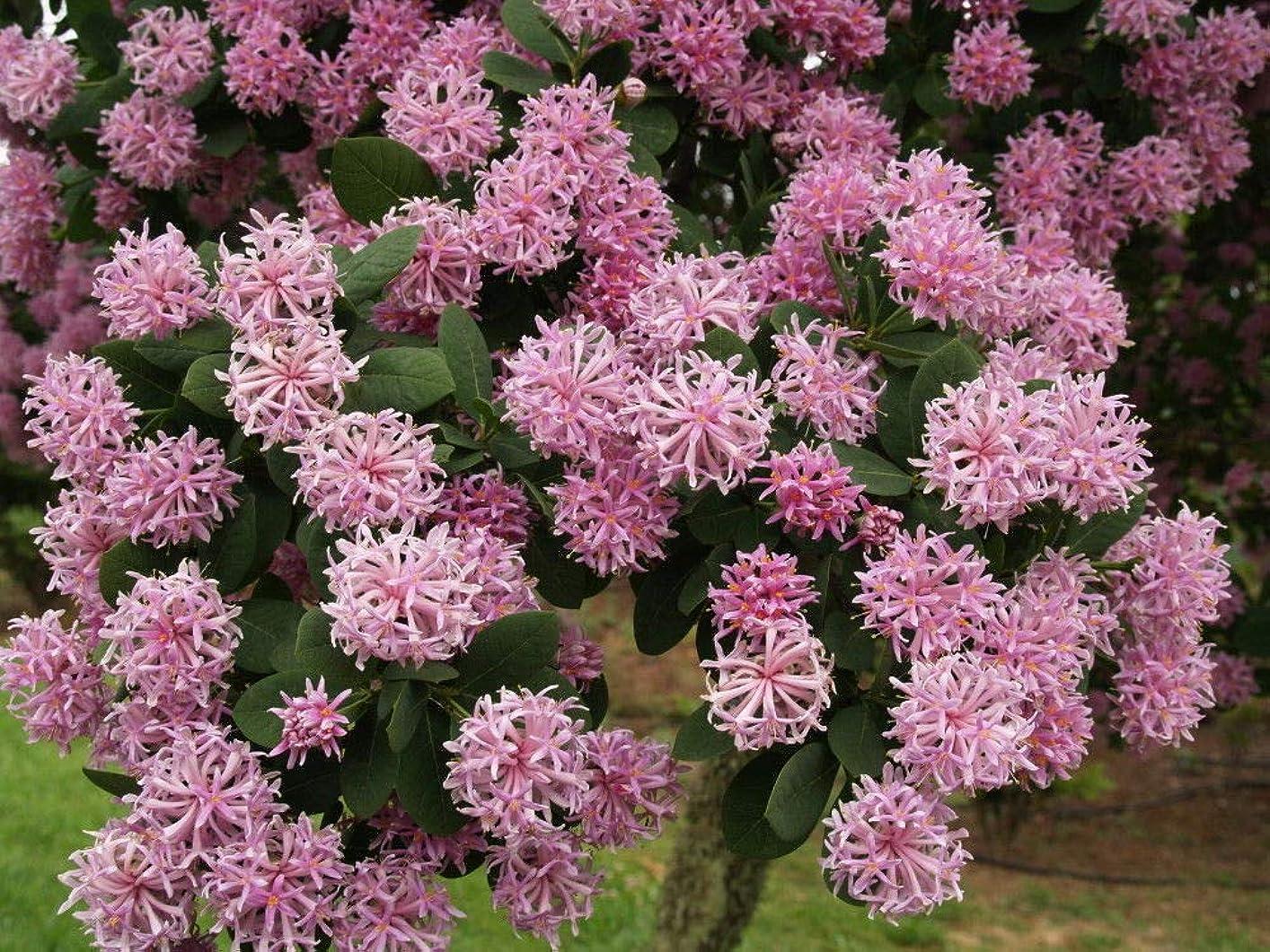 時計回り唯一カヌー15個の高座Cotinifolia種子、樹木の種子、ピンクッションツリー、トーチツリー.
