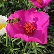 BOGO 50/% off SALE Portulaca Pink Moss Rose 200 Seeds