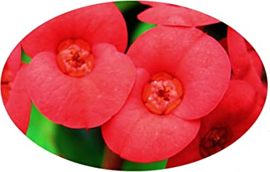 American Beauty Crown of Thorns Live Plant Euphorbia Milii Red Flower Cactus-Like Succulent Starter Size 4 Inch Pot Emerald T