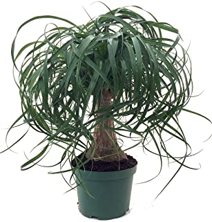"""Guatemalan Red Ponytail Palm - Beaucarnea - 6"""" Pot - Easy to Grow - Live Plant"""