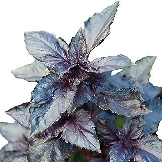 purple ruffles basil