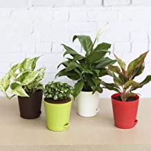 Ugaoo Indoor Plants for Home with Pot - Money Plant Marble, Syngonium Mini, Aglaonema Red, Peace Lily