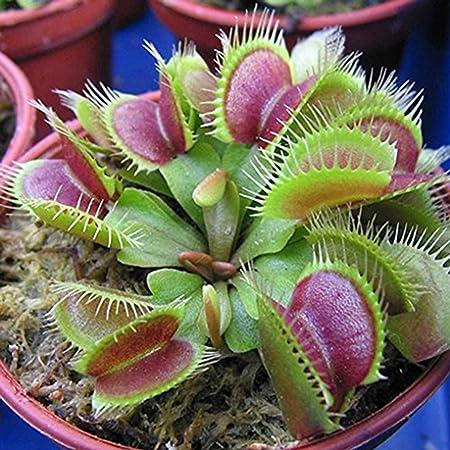 Polytree - 20 semillas de planta carnívora, venus atrapamoscas, dionaea muscipula
