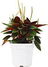 Peperomia 'Rosso' in 4