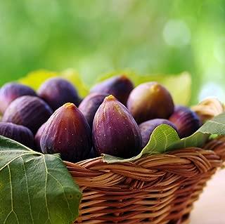 Beer's Black Fig Ficus Carica Live Plant Dwarf Habit