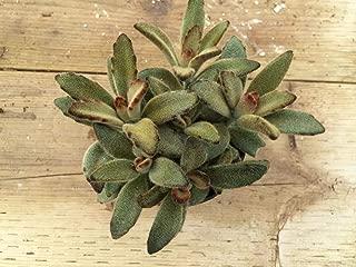 Large Succulent Plant. Kalanchoe Chocolate Soldier.