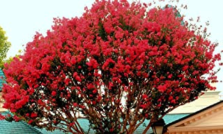 Large Carolina RED Crape Myrtle, 2-4ft Tall When Shipped, Matures 22ft,1 Tree, Beautiful Bright Cherry Red (Shipped Well Rooted in Pots with Soil)