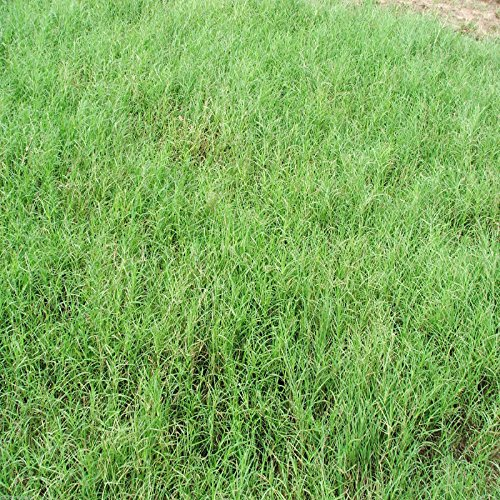 "Giant Bermuda Grass Seed ""Hulled"" 5 Lbs. ( Alternative for Coastal Bermuda )"