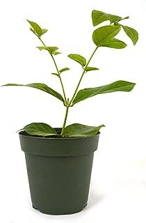 9GreenBox - Arabian Jasmine - 4'' Pot