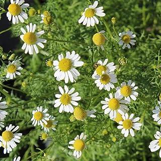 ca. 5000 Samen echte Kamille - Matricaria recutita, ideal für Tee geeignet
