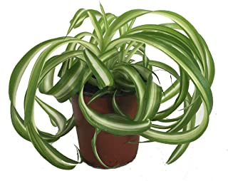 Shop Succulents   'Bonnie' Curly Spider Plant, Naturally Air Purifying House Plant in 4