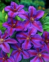 "Mrs. N. Thompson Clematis Vine - Purple & Scarlet Blooms - 2.5"" Pot"