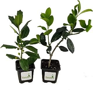 Sandys Nursery Online Ilex Evergreen Shrub, Nellie R Stevens Holly, Lot of 15, 3 Inch Pot + August Beauty White Gardenia Starter Plant