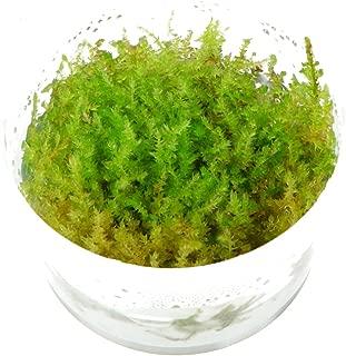 Tropica Vesicularia dubyana 'Christmas' Live Aquarium Moss - in Vitro Tissue Culture 1-2-Grow!