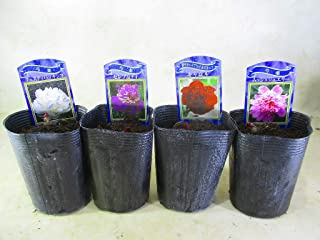 芍薬(洋) シャクヤク の苗 4種組 フェスティバマキシマ・セレブリティ・キャロル・ムッシュジュエリー 3号ロングポット