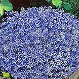 2 Campanula Portenschlagiana | Campanules à fleurs violettes | Couvre-sol fleuri | Hauteur 25-35cm | Pot Ø 12.5cm