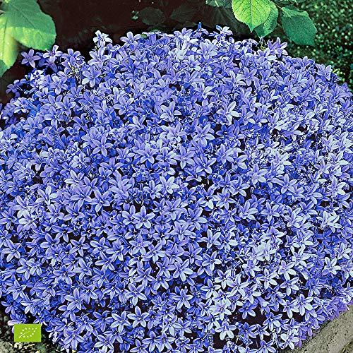 Campanula Portenschlagiana | Glockenblume Dalmatiner Blau | Lieferhöhe 10-15cm | Topfgrö?e Ø7cm