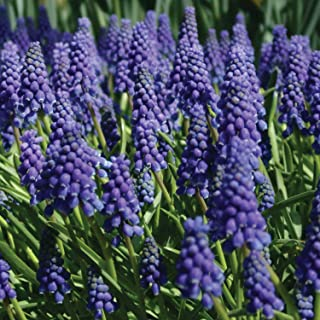 Burpee Blue Grape Muscari | 15 Large Flowering Fall Bulbs for Planting, Purple